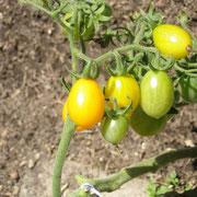 TOM 010 PSR gelbe Cherry / Sehr hübsche Sorte, produktiv, robust, geschmackvoll. Frühreif, sehr geeignet als Topfpflanze auf dem Balkon, muss vor Regen geschützt werden.