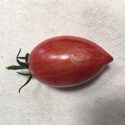 TOM 096 Bumble Bee Purple / ca. 5 cm lange, ovale, rote gestreifte Tomate.