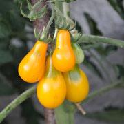 TOM 076 PSR Birnenförmige Gelbe / kleine gelbe Früchte, starkwachsend
