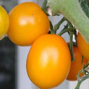 TOM 054 PSR Jaune de Chardonne / Die Tomaten sind zitronengelb, wiegen je etwa 60 g, sind süss und saftig und in der Form genau wie eine rundliche Pflaume. Der Ertrag ist beeindruckend und die Früchte sind gut haltbar.