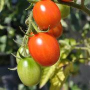 TOM 033 PSR Zwetschgentomate Carmen / Die Früchte sind zwetschgen- bis birnenförmig. Grosse Trauben, feste, sehr aromatische, karminrote Früchte mit etwas harter Fruchthaut.
