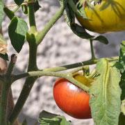 TOM 039 Schwarze Paris /  Kommt aus Paris. Sehr schöne, dunkle und aromatische Tomate