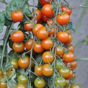 TOM 052 PSR Obsttomate Freude / Ursprünglich von der Ernst Benary Samenzucht (1819–93).  Nicht allzu süsse, grössere, rote Cherry, mit aufrechtem Wuchs, wie bei einer normalen Stabtomate. Reiche Ernte, mittelfrüh.