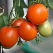 TOM 063 PSR Augria / Ursprünglich russische Züchtung, welche sogar eine Handelssorte gewesen sein soll.  Leuchtend orange Frucht. Lebhaft wachsend, relativ robust, die mittelgrossen aromatischen Früchte haften gut an der Staude. Früh bis mittelfrüh.