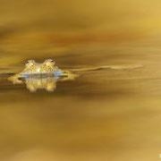 Sonneur à ventre jaune - Macédoine - Juin 2015