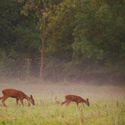 Chevreuil européen - Arçais (79) - Août 2014