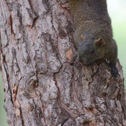 Ecureuil à ventre rouge - Juan les pins (06) - Juin 2012