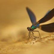 Caloptéryx vierge - Peyruis (04) - Juin 2013
