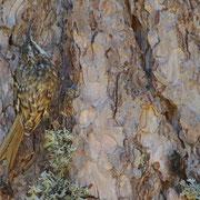 Grimpereau des bois - Corse - Août 2015