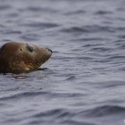 Phoque Veau-marin - Mer d'Iroise (29) - Juillet 2012
