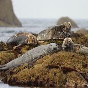 Phoque Gris - Mer d'Iroise (29) - Juillet 2012