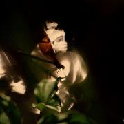 Caloptéryx vierge - Peyruis (04) - 2013