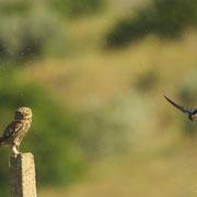 Chouette Chevêche et Hirondelle Rustique - Macédoine - Juin 2015