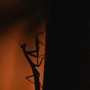 Mante religieuse - Peyruis (04) - Août 2013