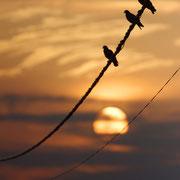 Pigeon Biset - Peyruis (04) - Juin 2012