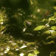 Caloptéryx vierge - Peyruis (04) - Juin 2014