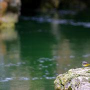 Bergeronette des ruisseaux - Pont-en-Royan (38) - Avril 2015