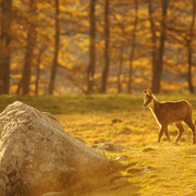 Chamois - Allos (04) - Octobre 2014