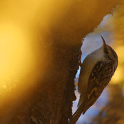 Grimpereau des bois - Ubaye (04) - Décembre 2015