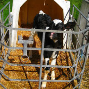 Bauernhofurlaub Eifel - Kalb im Iglu