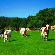 Bauernhofurlaub NRW Kuhherde auf der Wiese