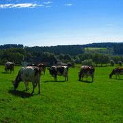 Bauernhofurlaub Eifel Kühe auf der Wiese