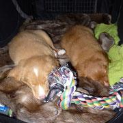 Nova Scotia Duck Tolling Retriever Nita und Sitka auf dem Weg ins neue Zuhause