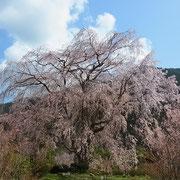③3月末から4月の初旬はYMCAでも桜が満開となります。中でも 湯の山温泉のしだれ   桜は有名です。これも春のお散歩コースとして最適です。