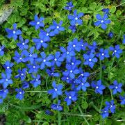 Blaue Blumenpracht auf 2400müM