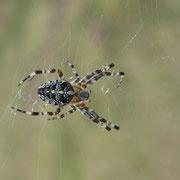 Die Spinne, ein nützlichees Insekt
