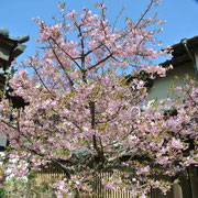 平成25年 慶国寺のさくら