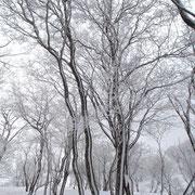 幹の北側には雪が貼り付いています