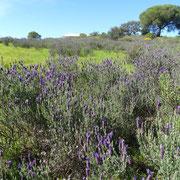 die Ostalgarve im Frühling ist Lavendelland ...