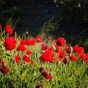Mohnblumen ... beeindruckend in ihrer Präsenz und Schönheit