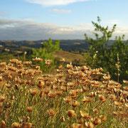 der Sommer fordert erste Opfer, aber auch trocken haben diese kleinen Blüten ihren Charme