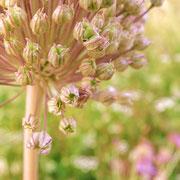 die Blüte einer Zwiebel ist mehr als überraschend schön