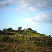 ein Ziegenhirte und seine Herde rund um Valongo