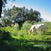 glückliche Kühe am Ortsrand von Altura