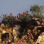 ein wilder Oleander schmückt die alten Steine dieser Ruine, oft komme ich hier vorbei und überlege, wie es wohl war hier oben vor langer Zeit, als der Hof noch bewirtschaftet wurde ...