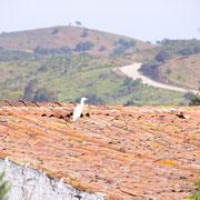 der Blick des Kuhreihers auf dem Dach der Ruine im Valongo geht Richtung Bergstrasse hinauf, sie führt zum Stausee von Beliche