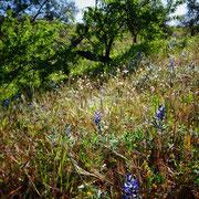 spannendes Morgenlicht ... blaue Lupinen und luftige Gräser begrüssen einen neuen Tag