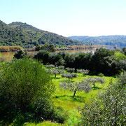 Olivenbäume am Rio Guadiana