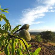 die Mandel, einer der Reichtümer des Algarve, sind auf dem Wege zur Reife!