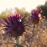 sie begeistert mit ihren Farben und der Kraft, die sie ausstrahlt, die Diste,l und sie ist eine vielseitige Heilpflanze
