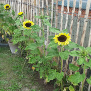 Sonnenblumen an unserem Zaun
