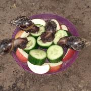 unsere Achatschnecken...Fütterung
