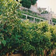 Piante di agrumi (foto L.Piunti)