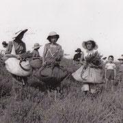 Cueillette du lavandin chez Pierre Vimeney, à Targon (Josette Gaye et Suzette Garineau sur la photo)