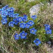 Gentianes occidentales en pleine floraison