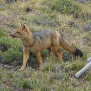 Très bel exemplaire de renard de Patagonie (culpeo ou zorro)